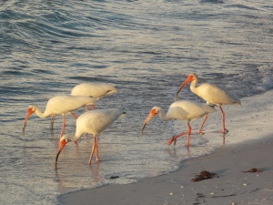 Ibis on the shore, Anna Maria Island FL